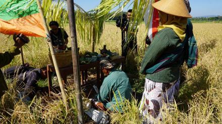 Upacara Adat Wiwitan Desa Gilangharjo tahun 2019